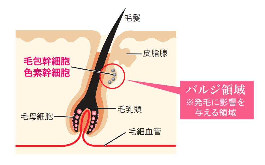 幹細胞(バルジ領域)へのアプローチ